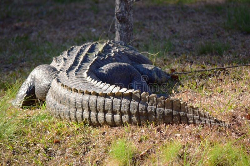 Grande queue d'alligator photo libre de droits