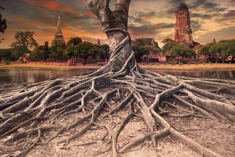 Grande racine de scape de terre de banian de pagoda antique et vieille dedans photos libres de droits