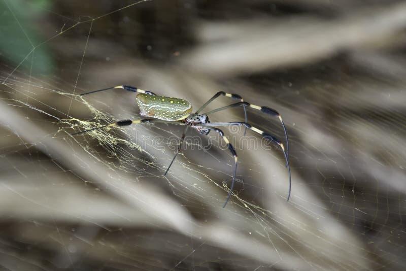 Grande ragno che si siede nel suo web fotografie stock libere da diritti