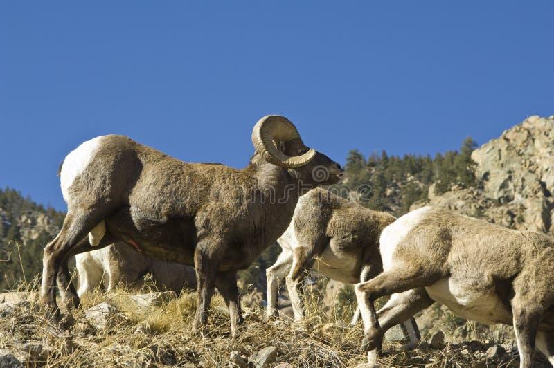 Grande ram del corno del Colorado fotografia stock libera da diritti