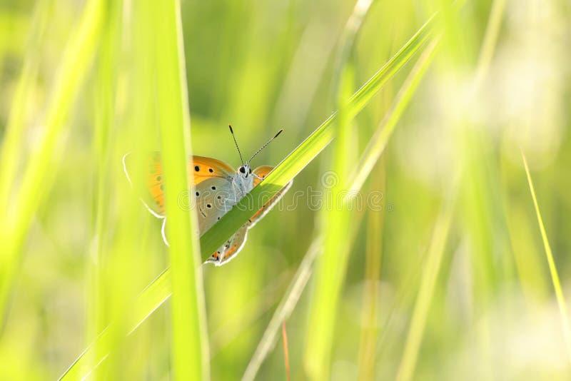 Grande rame della farfalla - Lycaena dispar su una mattina soleggiata della molla immagini stock libere da diritti