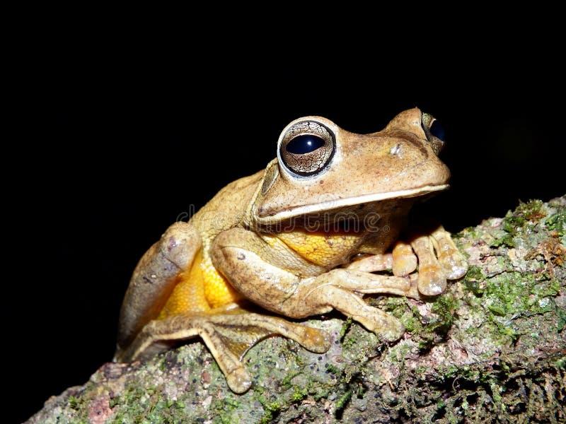 Grande rana nella notte immagini stock