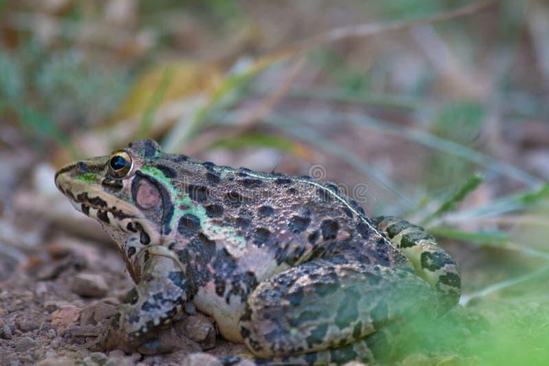 Grande rana toro vicino ad una zona umida immagine stock libera da diritti