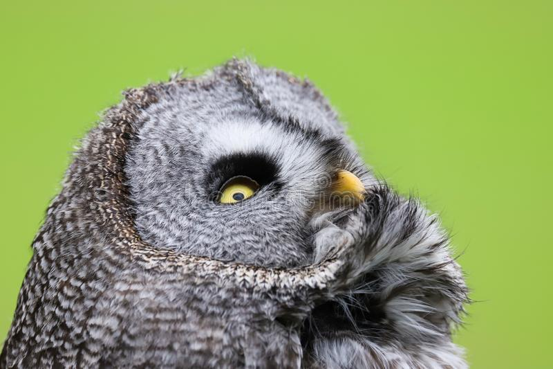 Grande rapace di nebulosa di Grey Owl Strix fotografie stock libere da diritti
