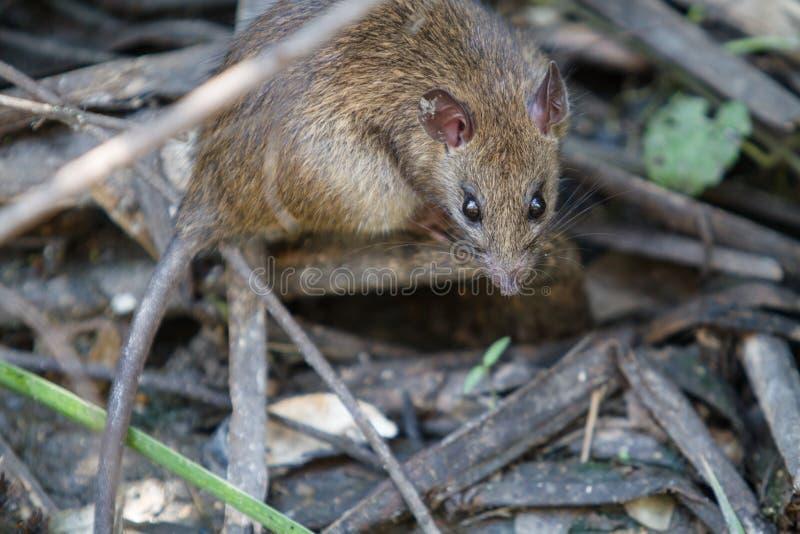 Grande rato de Brown na água suja imagem de stock royalty free