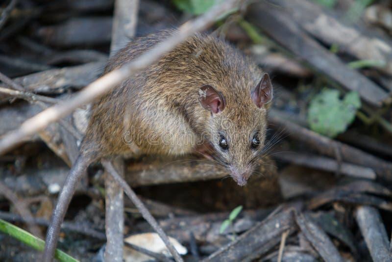 Grande rato de Brown na água suja imagem de stock