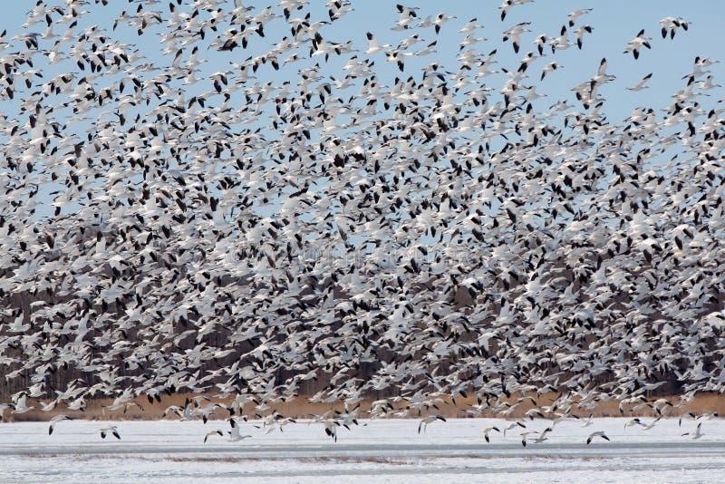 Grande rebanho da descolagem dos gansos de neve fotografia de stock