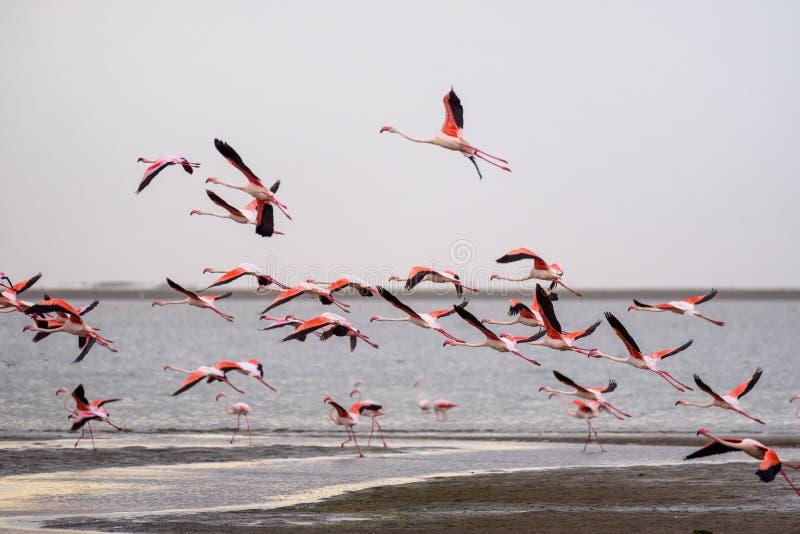 Grande rebanho de flamingos cor-de-rosa em voo na baía de Walvis, Namíbia foto de stock