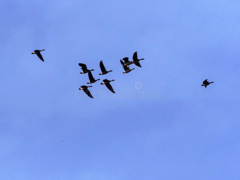 Grande rebanho do anser do Anser do ganso de pato bravo europeu do voo, no parque nacional de Hortobagy, Hungria fotografia de stock royalty free