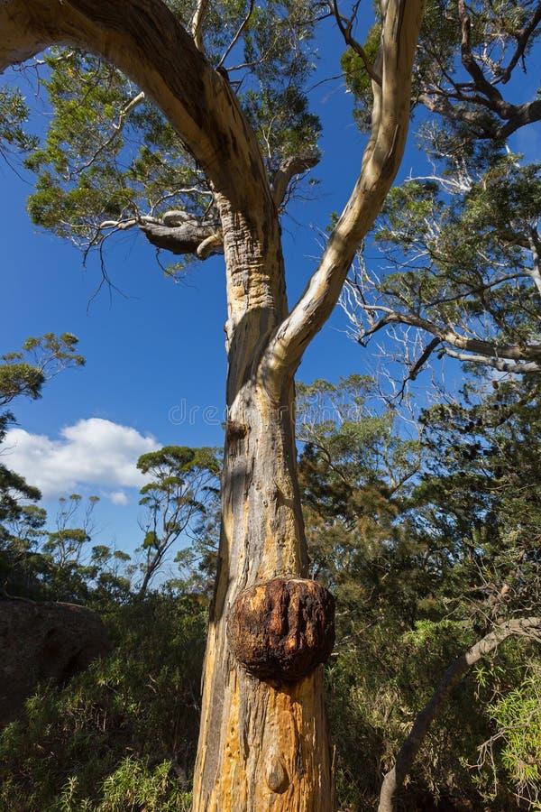 Grande rebarba do Burl que forma no tronco de árvore da goma do eucalipto em Freyci fotos de stock royalty free