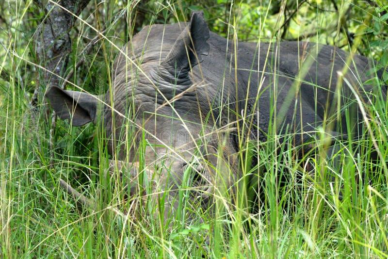 Grande rinoceronte que coloca na grama foto de stock