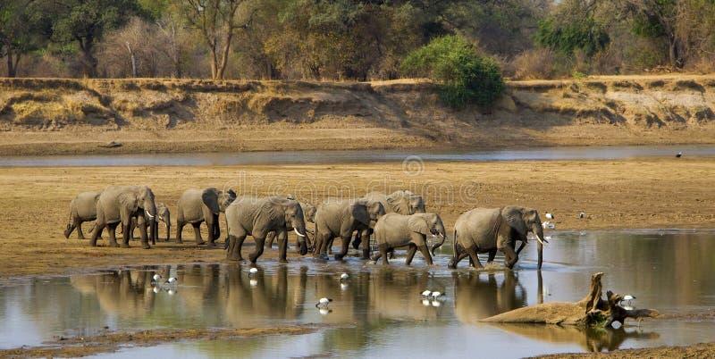 Grande rio do cruzamento do rebanho do elefante fotos de stock royalty free