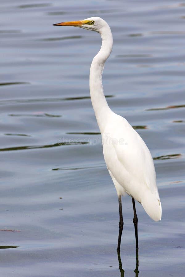 Grande ritratto dell'egretta fotografia stock