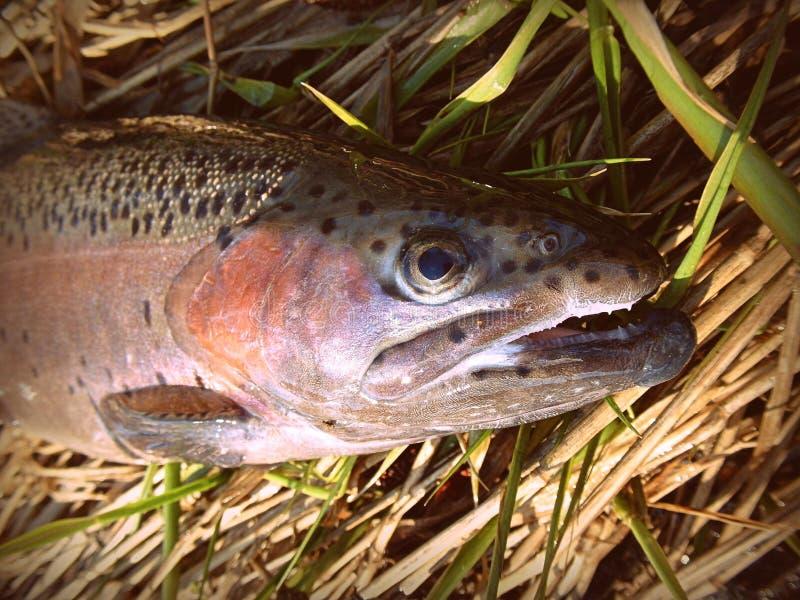 Grande ritratto della pesca con la mosca del pesce della trota iridea fotografia stock libera da diritti