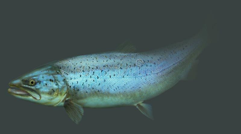 Grande ritratto della pesca con la mosca della trota di mare royalty illustrazione gratis