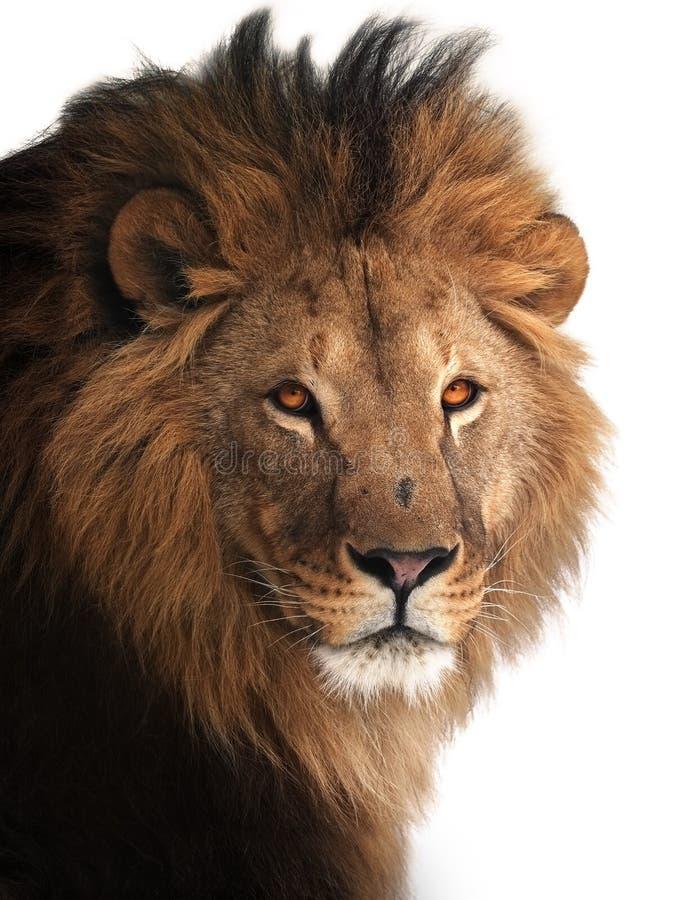 Grande ritratto di re del leone isolato su bianco immagine stock