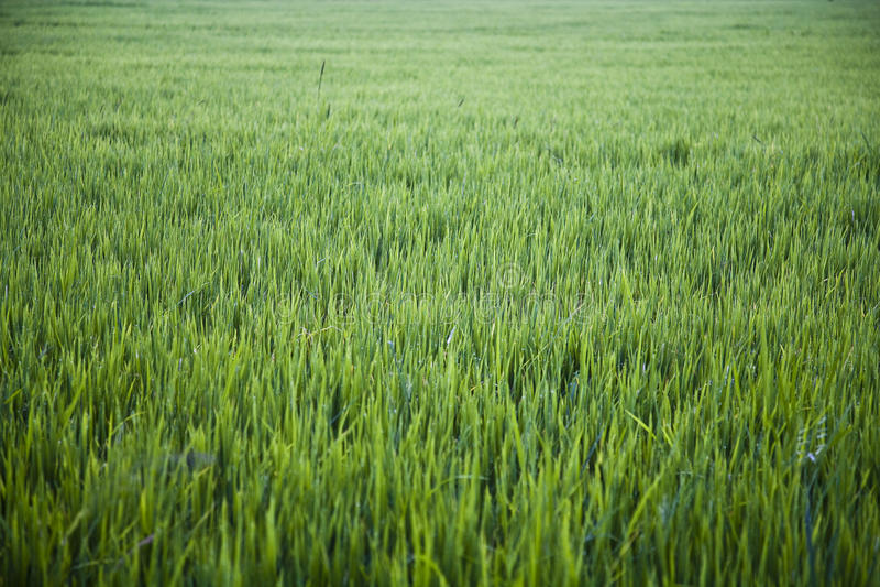 Grande rizière photo libre de droits