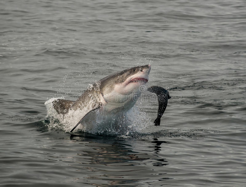 Grande rompimento do tubarão branco foto de stock royalty free