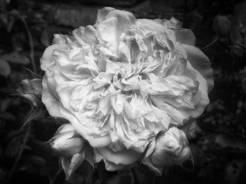 Grande rosa do branco do desvanecimento fotos de stock royalty free