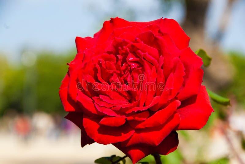 Grande rosa rossa felice soleggiata immagini stock