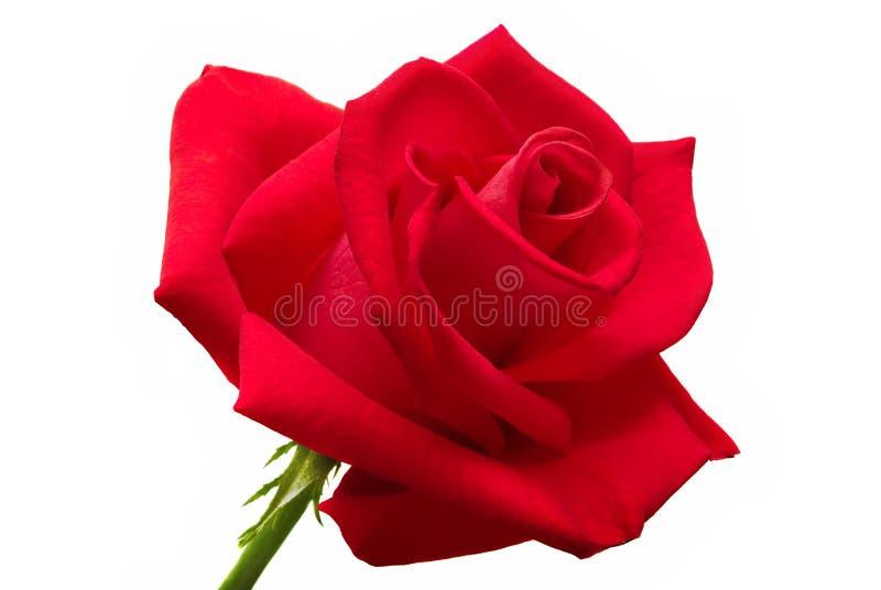 Grande rose de rouge d'isolement image libre de droits