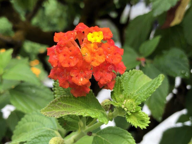 Grande-sabio, Salvaje-sabio, Rojo-sabio, isla Mainau de la flor del camara de Tickberry, de Umbelanterna o del Lantana en el lago imagen de archivo
