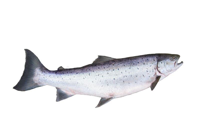 Grande salmone fotografia stock libera da diritti