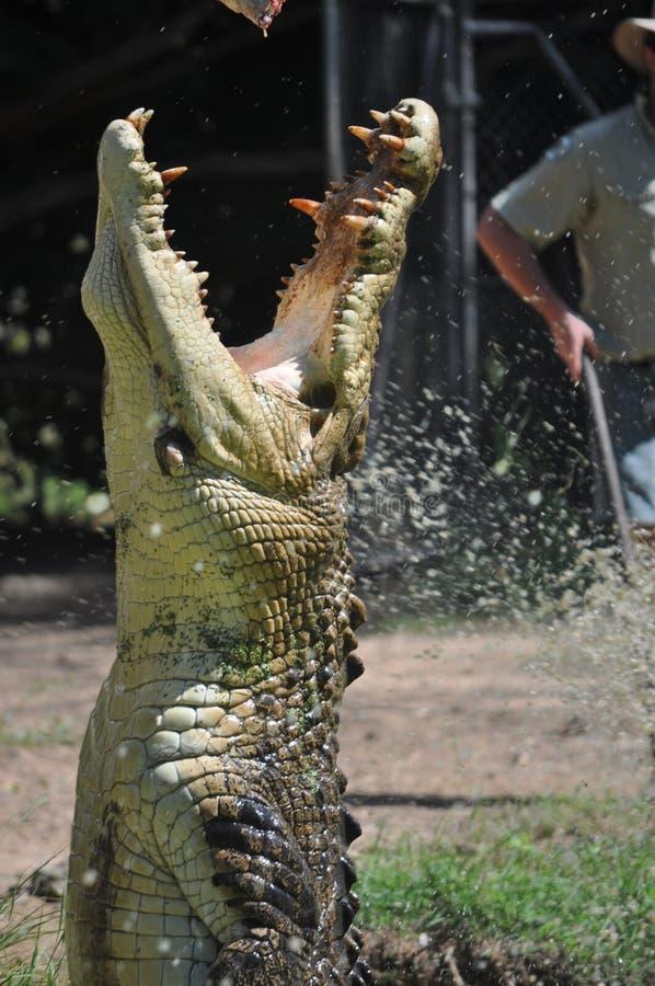 Grande saltare del coccodrillo dell'acqua con le mascelle Ope fotografia stock
