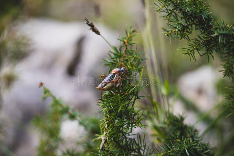 Grande sauterelle foncée sur la branche de buisson photographie stock libre de droits