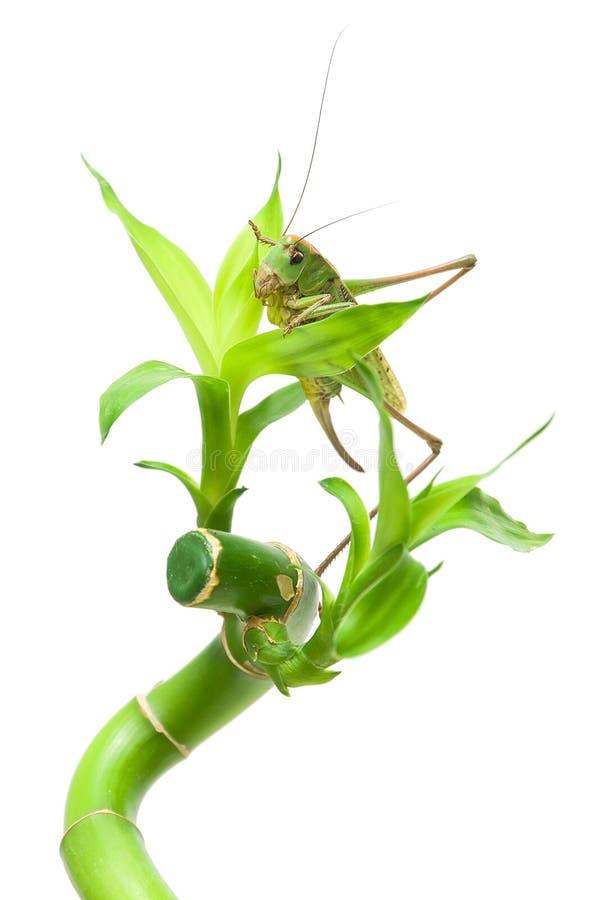 grande sauterelle se reposant sur une plante verte sur un. Black Bedroom Furniture Sets. Home Design Ideas