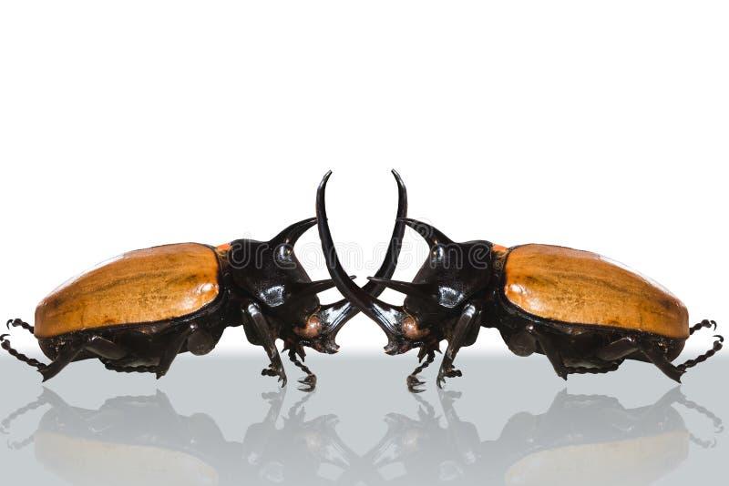 Grande scarabeo cornuto gemellato. immagini stock