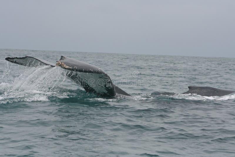 Grande schiaffo della coda di una balena di Humpback fotografia stock