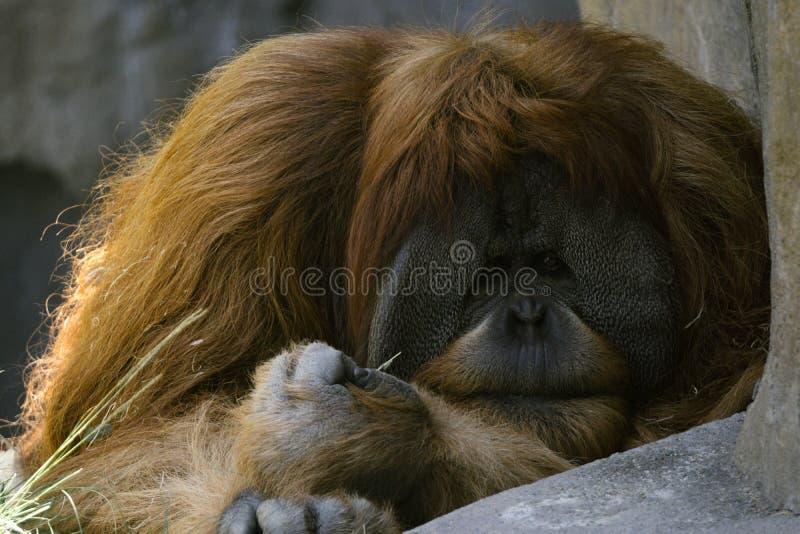 Grande scimmia fotografie stock libere da diritti