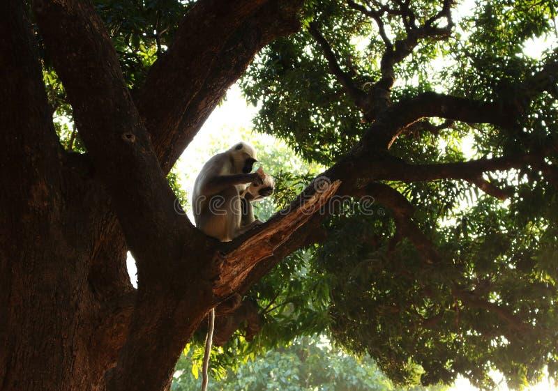 Grande scimmia grigia indiana con la coda lunga che si siede sull'albero e che legge carta sul bello fondo asiatico selvaggio del fotografie stock libere da diritti
