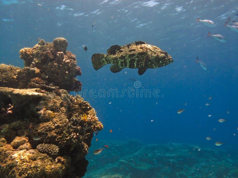Grande scogliera di barriera del merluzzo gigante fotografia stock