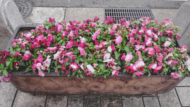 Grande secchio di bello fiore rosato fotografia stock libera da diritti