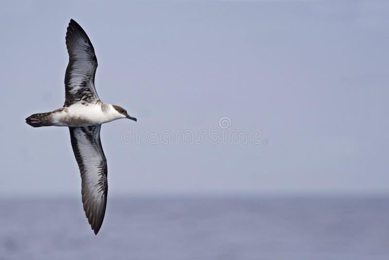 Grande Shearwater, gravis de Ardenna com asas espalhadas fotografia de stock royalty free