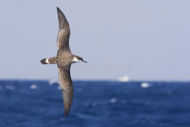 Grande Shearwater, gravis de Ardenna em voo sobre o mar imagens de stock royalty free