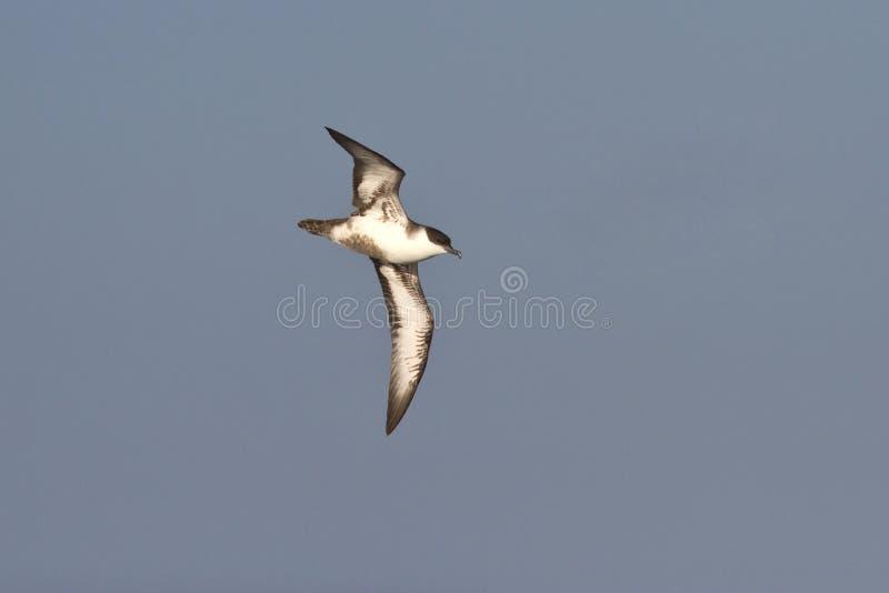 Grande Shearwater que voa sobre o Oceano Atlântico imagens de stock royalty free