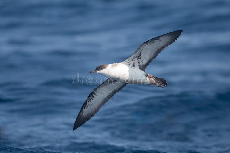 Grande Shearwater in volo sopra un mare blu immagine stock libera da diritti