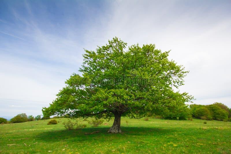Grande singolo albero di faggio fotografie stock