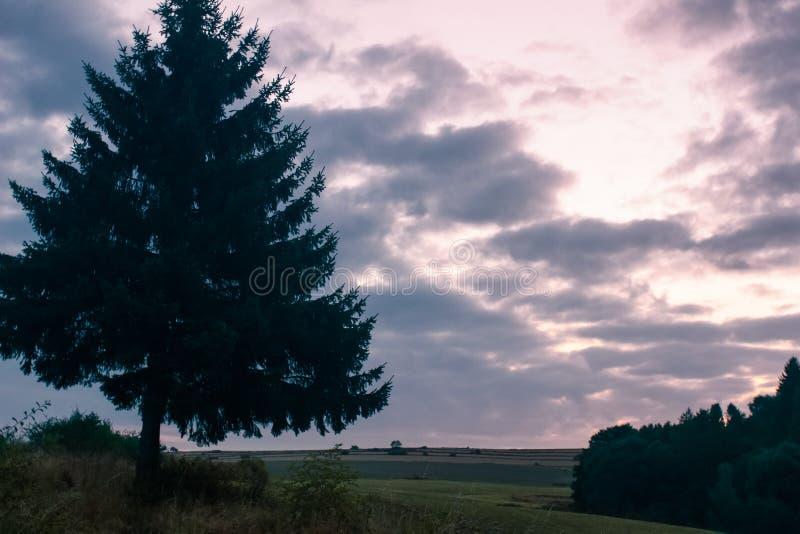 Grande singolo pino contro il cielo variopinto di alba di tramonto fotografia stock libera da diritti