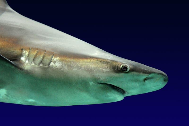 Grande squalo bianco fotografia stock