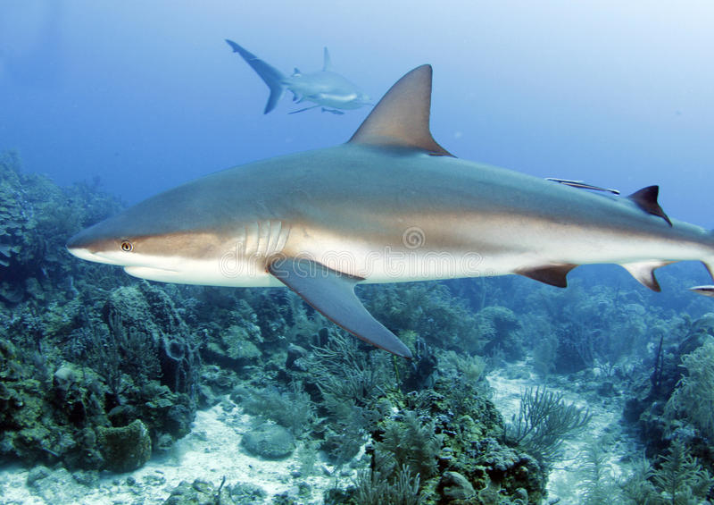 Grande squalo caraibico della scogliera, roatan, Honduras fotografia stock libera da diritti