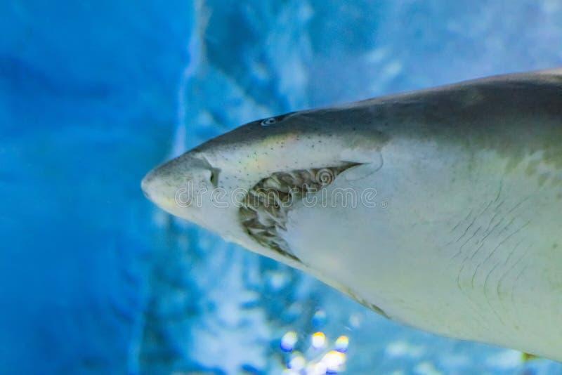 Grande squalo tigre della sabbia - acqua blu di CARCHARIAS TAURUS in chiaro dell'Oceano Atlantico immagini stock libere da diritti