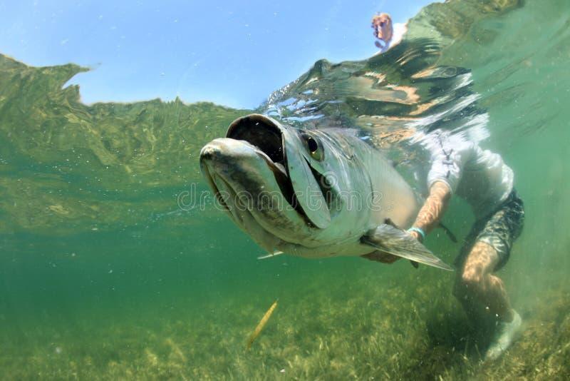 Grande tarpone nell'ambito dell'alimentazione dell'acqua fotografie stock
