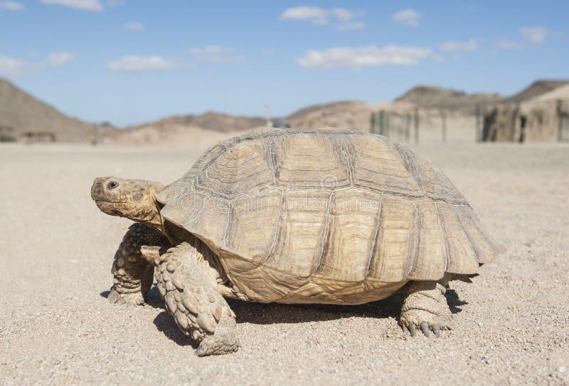 Grande tartaruga che cammina nel deserto immagine stock libera da diritti