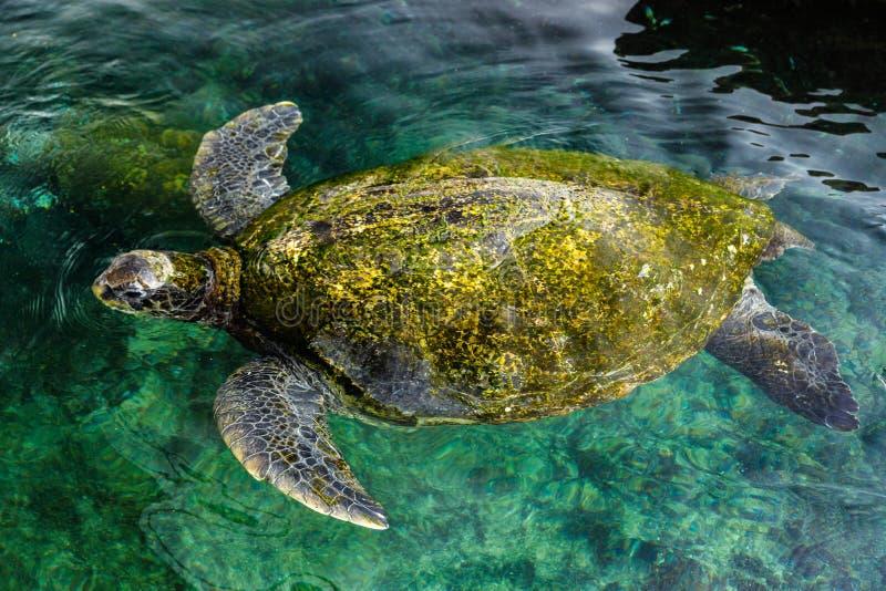 Grande tartaruga di mare verde, Israele immagini stock libere da diritti