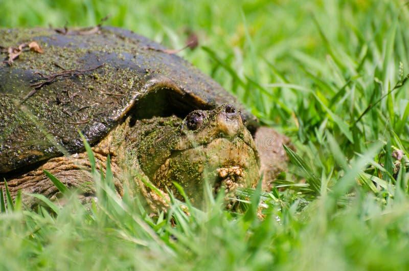 Grande tartaruga di schiocco comune fotografia stock for Tartaruga di palude
