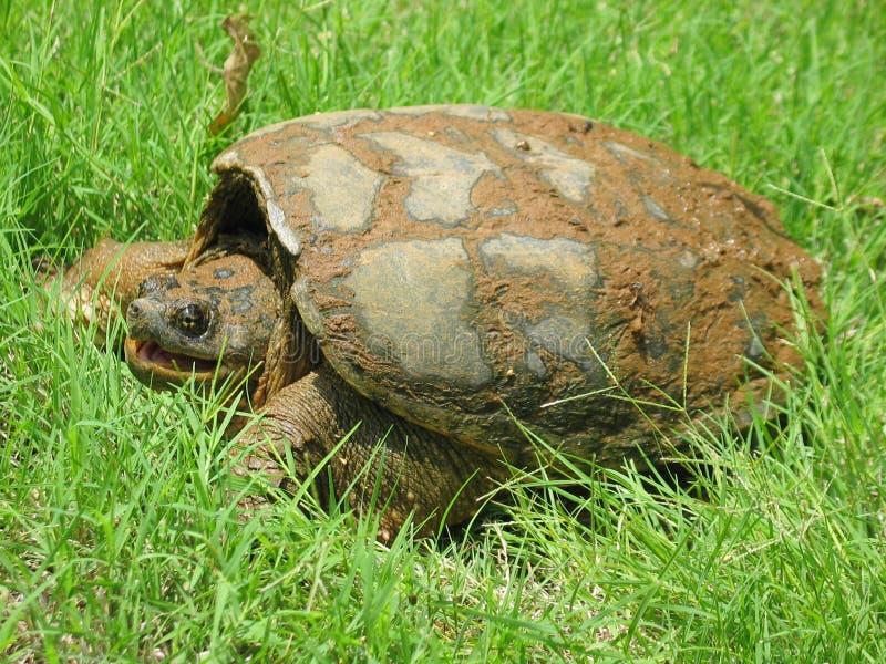 Grande tartaruga di schiocco comune con la bocca aperta immagine stock